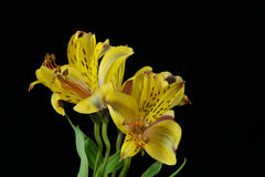 Yellow Peruvian lily bouquet Stock Photos