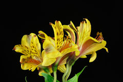 Yellow Peruvian lily bouquet,Astroemeria flowers Stock Photography