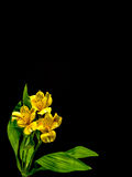 Yellow Peruvian lily with copy space Stock Image
