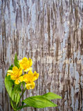Yellow Peruvian lily with copy space Royalty Free Stock Images