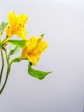 Yellow Peruvian lily with copy space Royalty Free Stock Photography