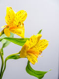 Yellow Peruvian lily with copy space Royalty Free Stock Photo
