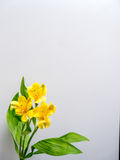 Yellow Peruvian lily with copy space Stock Images