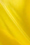Yellow petal. It's yellow petal of blooming tulip. This one is extreme close-up Royalty Free Stock Photography