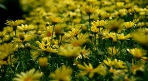 Yellow Petal Flower Field Royalty Free Stock Photo