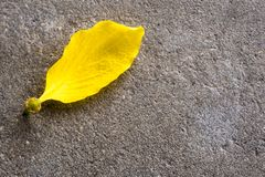 Yellow Petal of Golden shower flower on the concrete floor. Yellow Petal of Golden shower & x28;Ratchaphruek& x29; flower on the concrete floor stock image