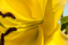 Yellow petal Lily flower. Texture stock photography