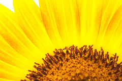 Yellow petal and pollen of sunflower Stock Images