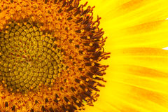 Yellow petal and pollen of sunflower. Stock Photography