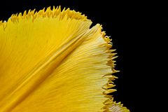 Yellow petal. On black background stock photos