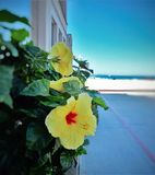 Yellow petaled flower beach side. Yellow petaled flower close up against a beach side background Royalty Free Stock Photos