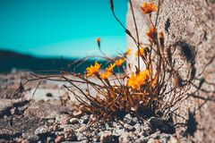 Yellow Petaled Flower Besides Brown Stone Stock Photos