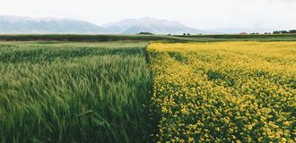 Yellow Petaled Flower Field Under Cloudy Sky during Daytime Stock Image