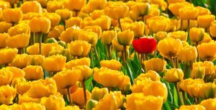 Yellow Petaled Flowers With One Red Petaled Flower Mixed in Stock Image