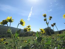 Yellow Petaled Flowers Under the Blue Sky stock photography