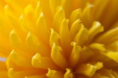 Yellow petals Royalty Free Stock Photo