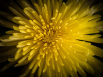 Yellow petals background. Royalty Free Stock Images