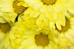 Yellow petals and yellow centers of chrysanthemums stock photography