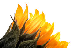 Yellow petals closeup Royalty Free Stock Images