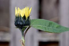 Sunflower Green Bracts with Leaf 03. Yellow petals and dark green bracts on Sunflower bud with partial leaf Royalty Free Stock Photos