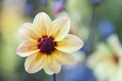 Yellow petals flower with dark red center Royalty Free Stock Photography