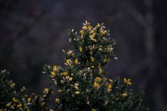 Yellow Flowers on Gorse. The yellow petals of the flowers on the gorse bushes Royalty Free Stock Photo