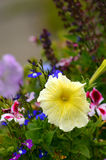 Yellow petunia flower against colourful floral bac Stock Photos