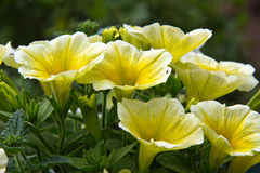 Yellow petunia Stock Photos