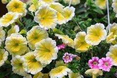Yellow Petunias Stock Photography