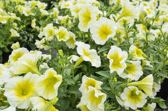Yellow Petunias Royalty Free Stock Photography