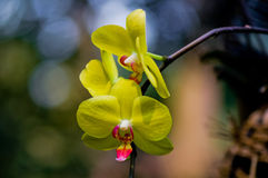 The yellow Phalaenopsis aphrodite Stock Photography