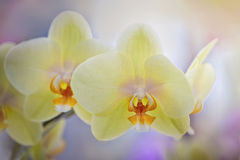 Yellow phalaenopsis Stock Photography