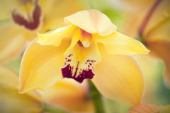 Yellow phalaenopsis Stock Photo