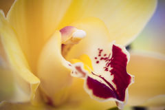 Yellow phalaenopsis Royalty Free Stock Image