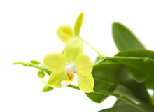 Yellow phalaenopsis orchid Royalty Free Stock Photos