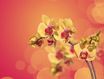 Yellow phalaenopsis orchid Royalty Free Stock Photography
