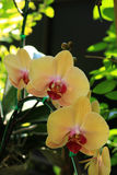 Yellow Phalaenopsis Orchid. Detail of Yellow Phalaenopsis Orchid Royalty Free Stock Photography