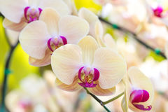Yellow phalaenopsis orchid flower Royalty Free Stock Photos