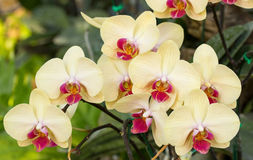 Yellow phalaenopsis orchid flower. In the garden Royalty Free Stock Images