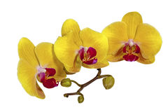 Yellow Phalaenopsis Orchid Flowers Stem and Buds Royalty Free Stock Photo