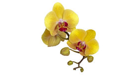 Yellow Phalaenopsis Orchid Flowers Stem and Buds Royalty Free Stock Images