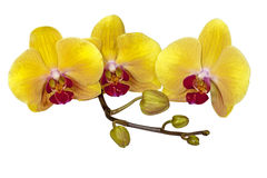 Yellow Phalaenopsis Orchid Flowers Stem and Buds Royalty Free Stock Photography