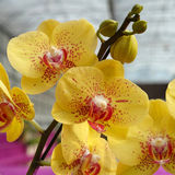 Yellow Phalaenopsis (Orchid) Stock Images