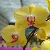 Yellow Phalaenopsis (Orchid) Stock Photos