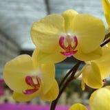 Yellow Phalaenopsis (Orchid) Stock Photos