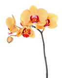 Yellow phalaenopsis orchid isolated on white Stock Photos