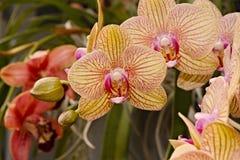 Yellow Phalaenopsis Orchid Royalty Free Stock Photos
