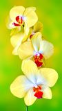 Yellow phalaenopsis orchid. Picture orchid on a homogeneous background Royalty Free Stock Photo