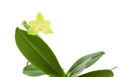 Yellow phalaenopsis orchid plan Stock Photos