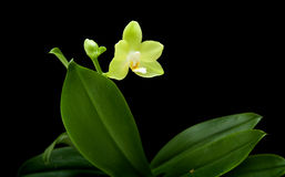 Yellow phalaenopsis orchid plan Stock Photography